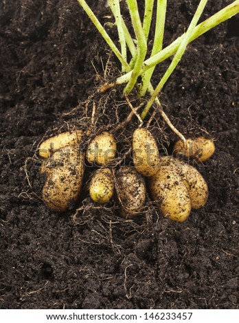 potato vegetable with tubers in soil dirt surface background  - stock photo