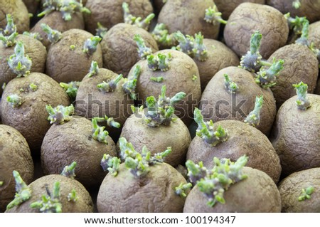 potatoe sprouts - stock photo