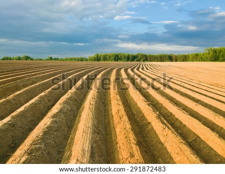Potatoes field after mechanized hilling - stock photo