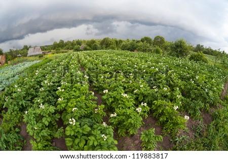 Potatoes plantation - stock photo