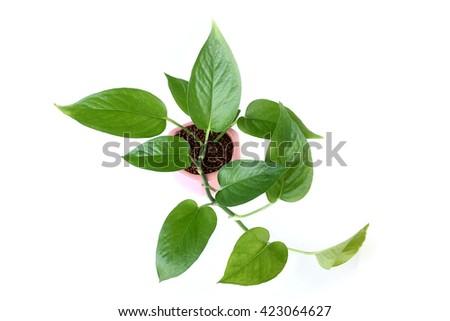 Pothos in pots on white background - stock photo