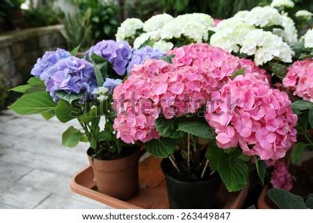 Pots with purple, pink and white Hidrangeya macrophylla - stock photo
