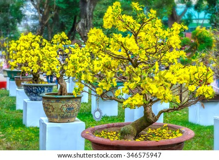Pots yellow apricot flowering bonsai in spring Vietnam with modern tree is reaching its certainly bloom bright yellow. This is the symbolic flower for Tet in Vietnam - stock photo