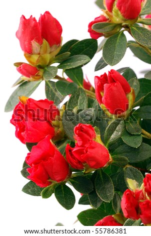 Potted azalea species of red for the Mother's Day - stock photo
