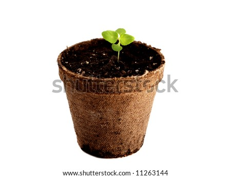 Potted coleus sprout isolated on a white background - stock photo