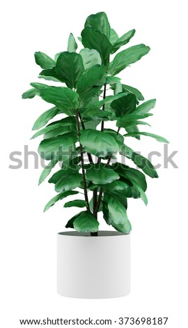 potted ficus plant isolated on white background - stock photo