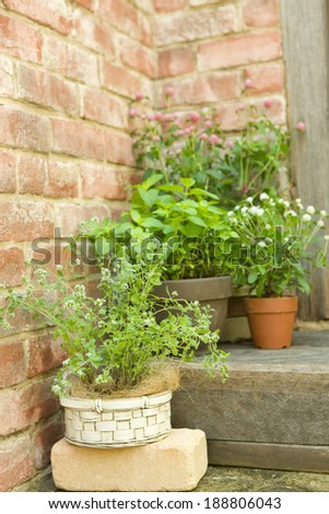 Potted herb of sweet marjoram and Japanese mint - stock photo