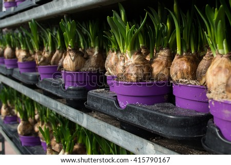 Potted hyacinth bulbs in a greenhouse - stock photo