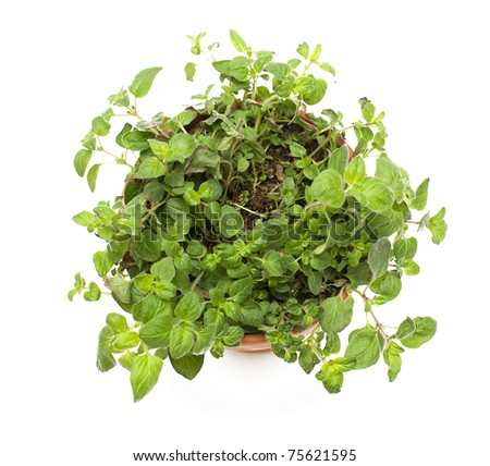 potted oregano on white background - stock photo
