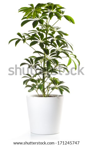 Potted Plant - Aralia  - stock photo