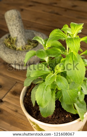 Potted stevia plant which is a healthy sugar substitute - stock photo