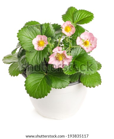 Potted strawberry pink flowers isolated on white background - stock photo