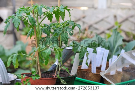 potted tomato plants in the garden with other seedlings - stock photo