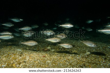 pout shoal - stock photo