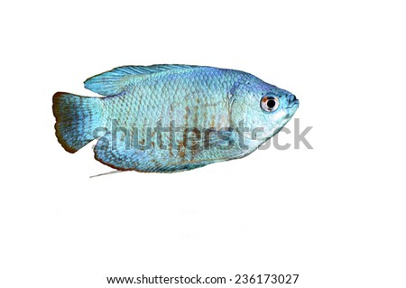 Powder Blue Dwarf Gourami isolated on white  - stock photo