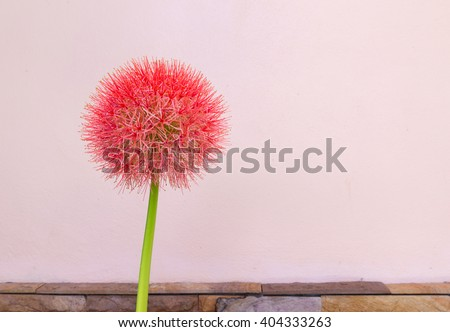 Powder puff lily or Blood flower. (Scientific Name:Haemanthus Multiflorus)on nature back ground. selective focus. - stock photo