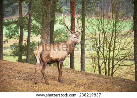 Powerful adult red deer stag in natural environment autumn fall  - stock photo