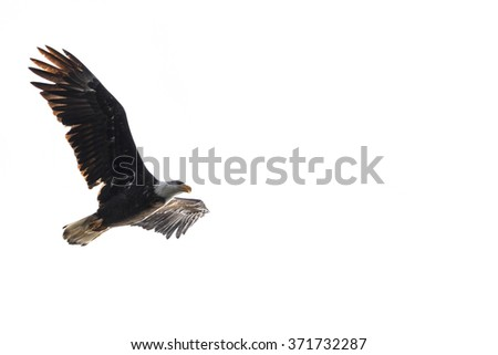 powerful American Bald Eagle flying over lake Coeur d' Alene in northern Idaho - stock photo
