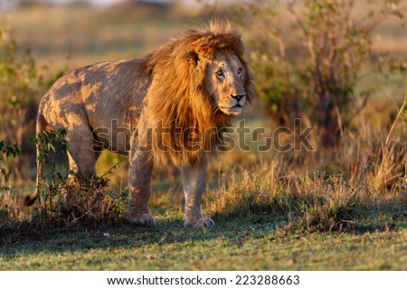 Powerful Double Cross Lion still a little tired during sunrise in the Masai Mara, Kenya - stock photo