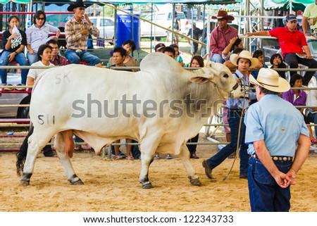 PRACHUAPKHIRIKHAN, THAILAND - DECEMBER 16 : An unidentified farmer displays his cattle at the annual Livestock Show on December 16, 2012 in Pranburi, Prachuapkhirikhan, Thailand - stock photo