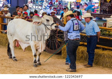 PRACHUAPKHIRIKHAN, THAILAND - DECEMBER 16 : An unidentified farmer displays his prize winning cow at the annual Livestock Show on December 16, 2012 in Pranburi, Prachuapkhirikhan, Thailand - stock photo