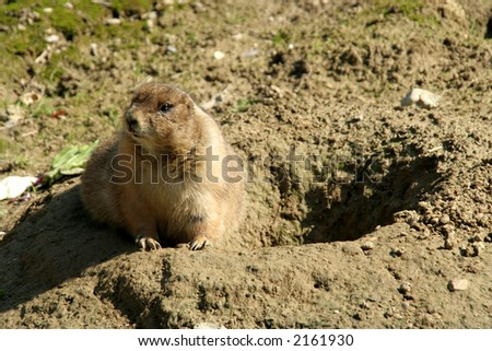 Prairie Dog close to the hole entrance - stock photo