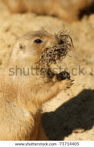 Prairie dog collecting nesting material - stock photo