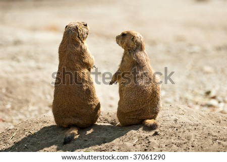 Prairie dog couple - stock photo