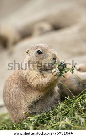Prairie dog eating - stock photo