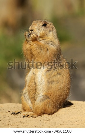 Prairie dog eating - stock photo