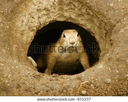 Prairie dog emerges - stock photo