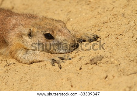 Prairie dog laying on the ground - stock photo