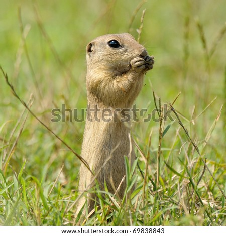 prairie dog on field in summer - stock photo
