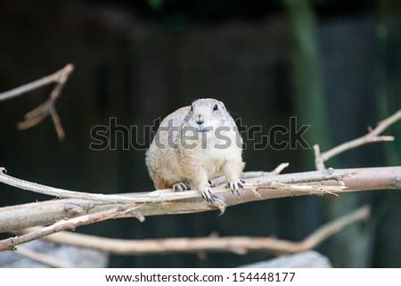 Prairie dog sitting on the branch - stock photo