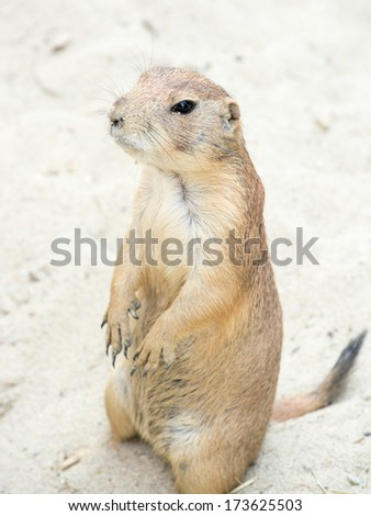 Prairie dogs (genus Cynomys) are burrowing rodents native to the grasslands of North America. - stock photo