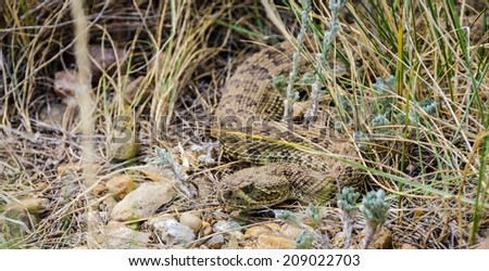 Prairie rattlesnake blending into the ground & grass in Alberta, Canada - stock photo