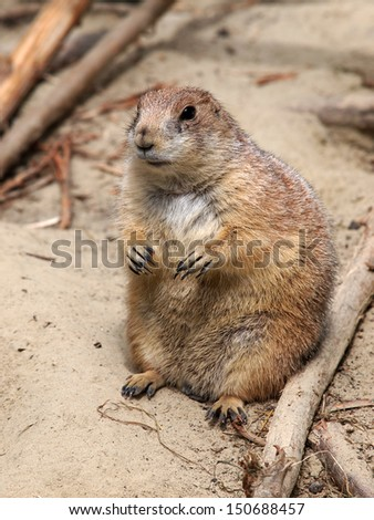 Prairiedog - stock photo