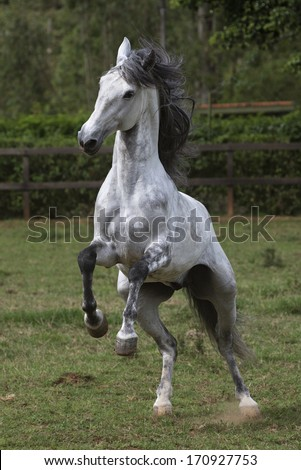 Prancing Lusitano Stallion - stock photo