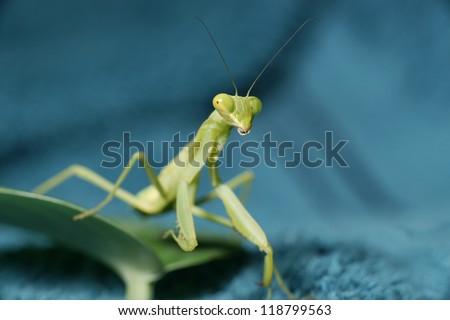 Praying Mantis - stock photo
