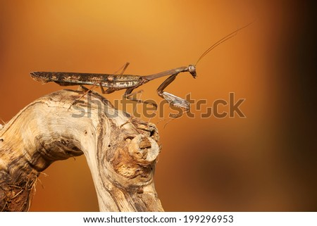 Praying Mantis insect - stock photo