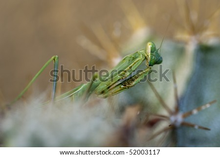 Praying mantis, Mantis religiosa , hunts for insects on a cactus in Tucson, Arizona - stock photo