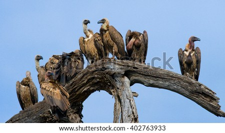Predatory birds are sitting on a tree. Kenya. Tanzania. Safari. East Africa.  - stock photo