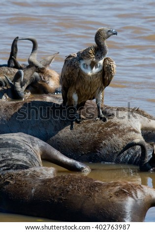 Predatory birds eat the prey. Kenya. Tanzania. Safari. East Africa.  - stock photo