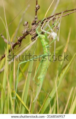 Predatory bush cricket (Saga pedo)  - stock photo