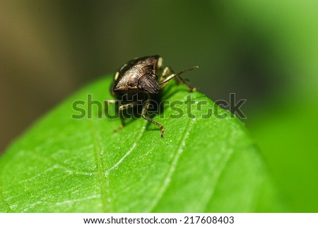 Predatory shield bug, it can create large populations which feed on crops - stock photo