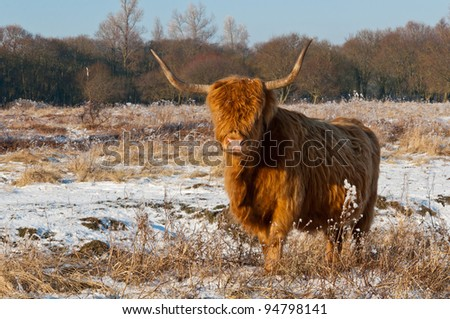 Pregnant Highland cow with long horns and a winter coat standing in the snow of the Dutch nature reserve Dintelse Gorzen (near the village of Steenbergen, North-Brabant). - stock photo