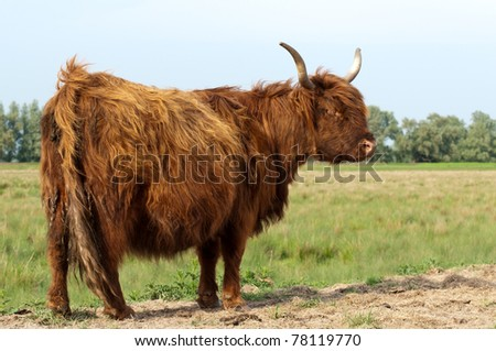 Pregnant Higland cow with winter coat standing in grassland. This cow is grazing in a meadow of the Dutch National Park De Biesbosch (North-Brfabant). - stock photo