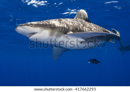 Pregnant oceanic whitetip shark off Cat Island in the Bahamas with pilot fish. - stock photo