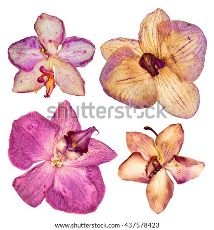 Pressed and dried coral, pink flower orchid  isolated elements on white  background for scrapbook object - stock photo