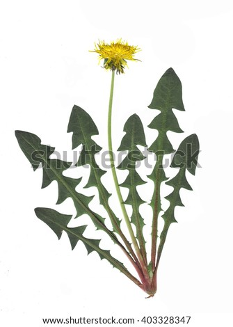 Pressed and dried dandelion flower and dandelion leaves. Isolated on a white background. - stock photo